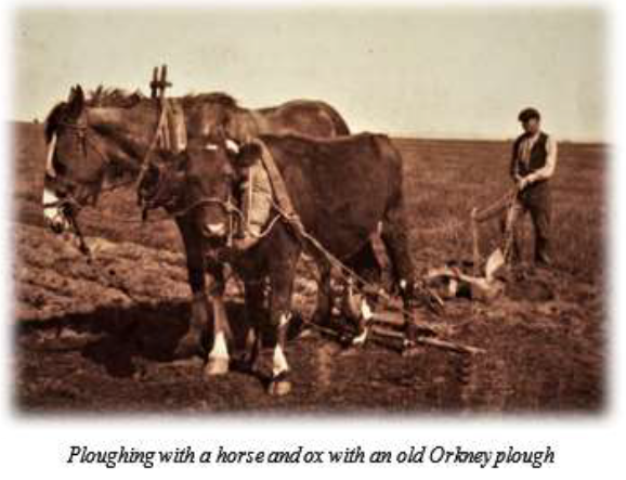 Orkney plough with oxen Ian Cooper