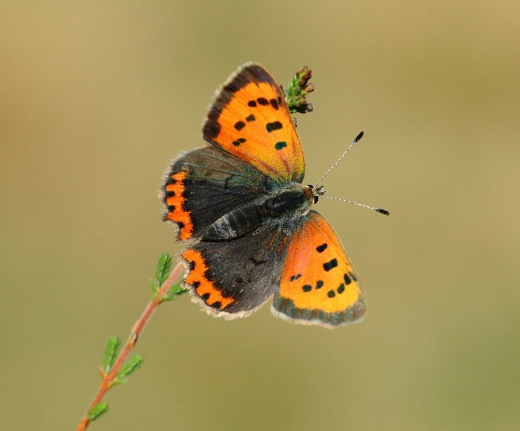 Small Copper  butterfly Credit Mark Searle