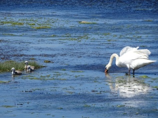 Stenness swan and cygnets Bell