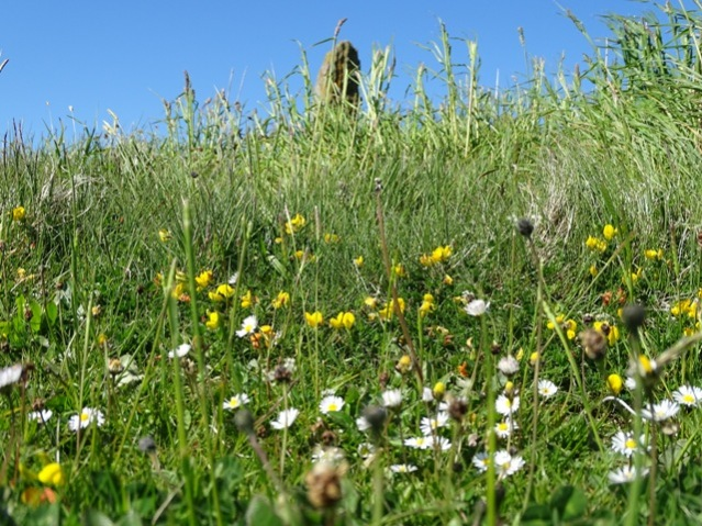 wild flowers May 2020 Brodgar credit Bell