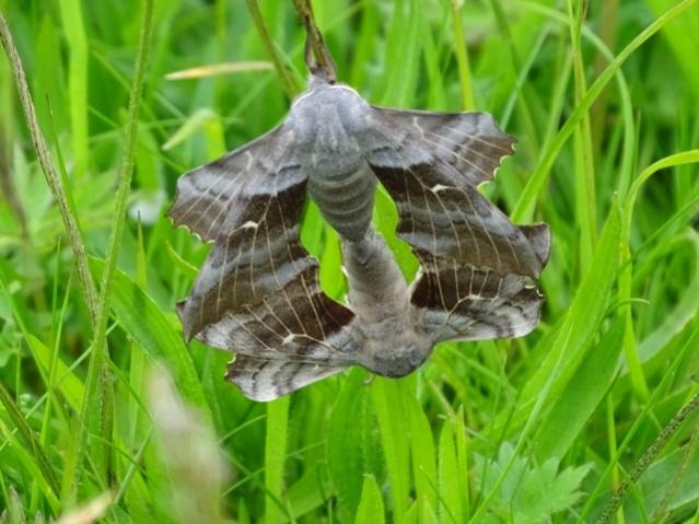 poplar hawk moth credit Mike Bell