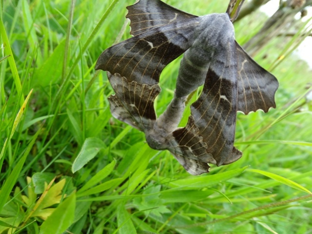 poplar hawk moths credit Mike Bell