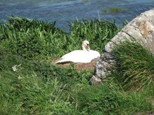 Stenness Swan on nest Bell