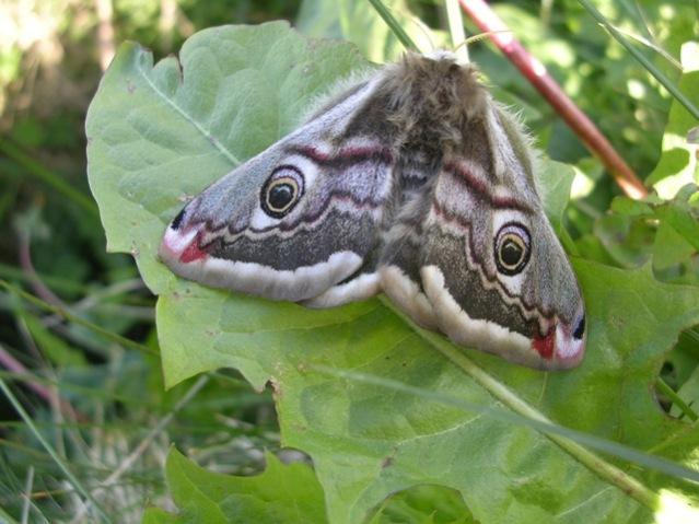 Emperor Moth credit: Mike Bell